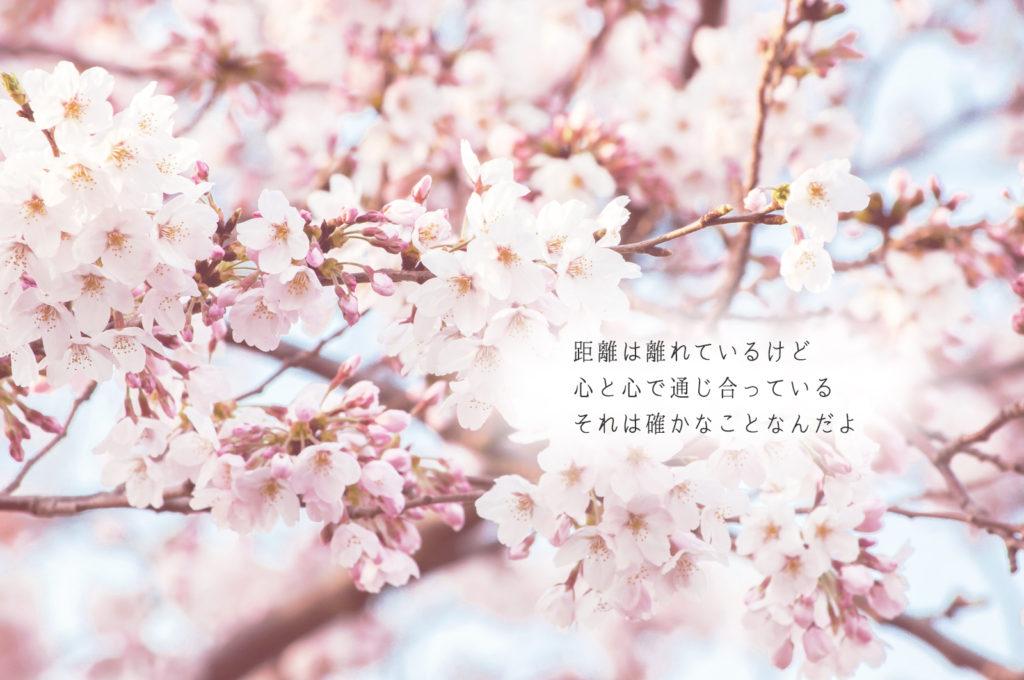 遠距離//桜
